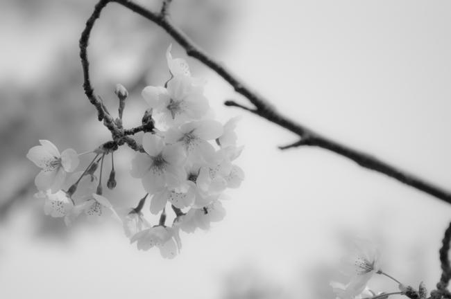sakuramono1.jpg